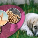 Futtermittelallergie durch Hundefutter – Wie kommt es dazu und was musst du beachten?