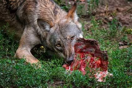 Wolf Futter