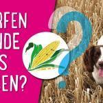 Dürfen Hunde Mais essen? 🌽🌽🌽
