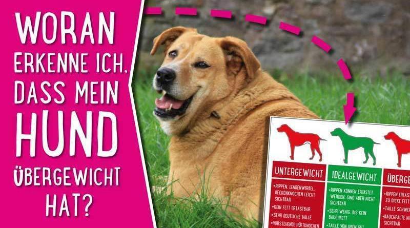 Übergewicht Hund