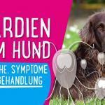 Giardien beim Hund – Ursache, Symptome und Behandlung 🐶
