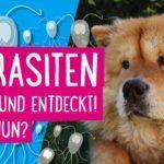 Parasiten beim Hund entdeckt! Was nun?