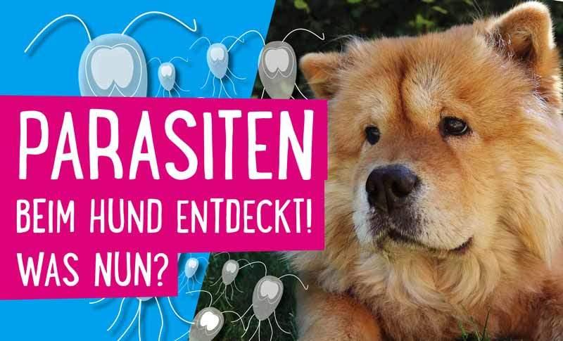 Parasiten beim Hund
