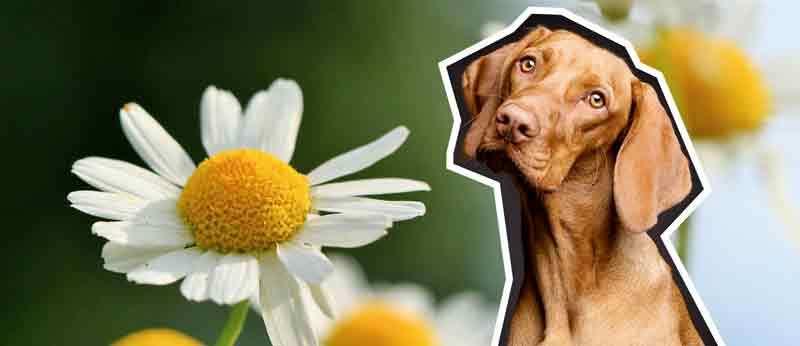 Hund Kamillentee
