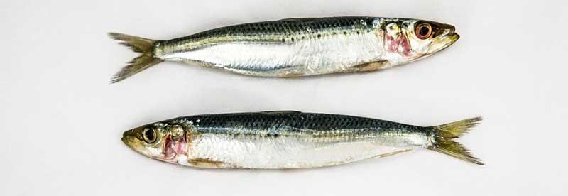 BARF-roher-Fisch-Thiaminase