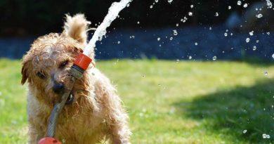Hund-im-Sommer