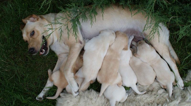 Futter-für-Zuchthunde