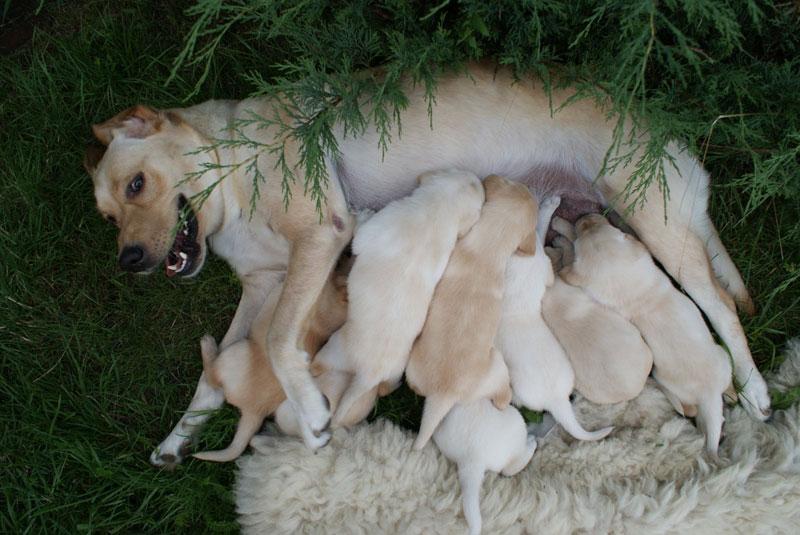 Das richtige Futter für Zuchthunde