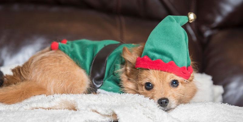 Hund-als-Weihnachtself