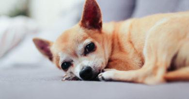 Futter für Chihuahua
